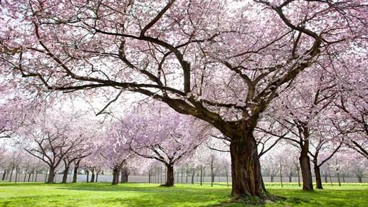 Kirsikankukkapuiden kauneutta Tokiossa. Matkat Japaniin KILROYlta.