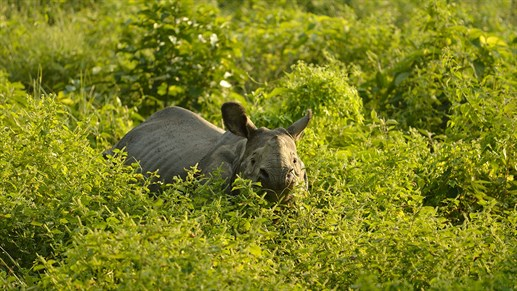 Nepal Chitwan National Park Asian Rhino